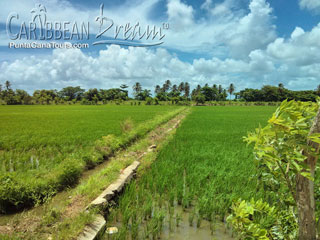 Dominican Rice Fields